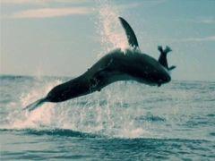 Dark Tide: Shark Bait