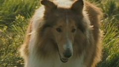 Lassie Scene: I Never Want Another Dog